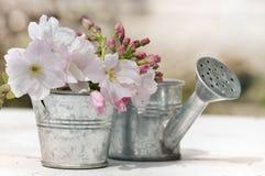 Romantic bush of cherry blossom Royalty Free Stock Photography