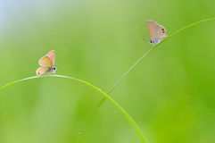 Romantic Butterflies on The Grass With Blurred Background. A Couple of Butterflies on the grass Royalty Free Stock Photos