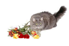 Romantic cat 4 royalty free stock images