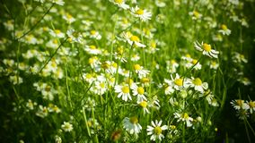 Romantic chamomile flowers stock footage
