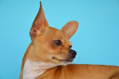 Romantic chihuahua dog Stock Images