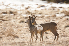 Romantic couple of deer Royalty Free Stock Photography