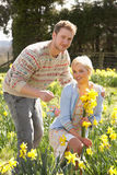 Romantic Couple Picking Spring Daffodils Stock Photo