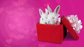A romantic couple of rabbits sitting in the present box and relaxing. Floating little hearts on pink background, copy space stock video