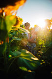 Romantic couple standing and kissing on background summer  field sunflower sunset Royalty Free Stock Photography