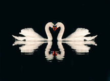 Romantic couple of swans Stock Photos