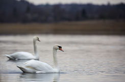 Romantic couple of swans are on lake Royalty Free Stock Images