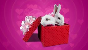 A romantic couple of white fluffy bunnies in the red gift box. Pink background as a shape of hearts stock video footage