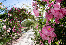 Romantic creeping rosebed path Royalty Free Stock Images