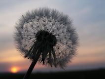 Romantic dandelion sunset. Dandelion with sunset on the background royalty free stock photo