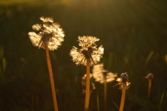 Romantic dandelions. In the june Royalty Free Stock Image