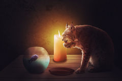 Romantic dinner, cat lynx and fish with candle light