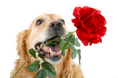 Romantic dog Stock Photo