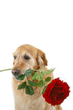 Romantic dog Stock Photos
