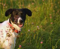 Romantic Dog. Dog in the field full of flowers Stock Photography