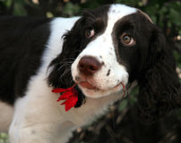 Romantic dog. Dog with a red flower Stock Photos