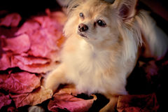 Romantic  dog in autume season Stock Images