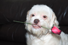 Romantic dog holding a rose with a very cute look and teeth out. Royalty Free Stock Images