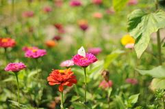A romantic, dreamy summer meadow with flowers in pink and orange with a white butterfly in focus. Summer flowers in pink and orange on a dreamy and romantic royalty free stock image
