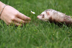 Romantic Ferret Royalty Free Stock Images