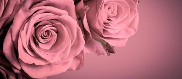Beautiful pink roses on old pink background with dark vignette frame. Romantic floral banner.