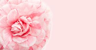Beautiful pink camellia close up with copy space for greeting card royalty free stock photo