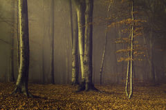 Romantic forest in a misty autumn day Royalty Free Stock Images