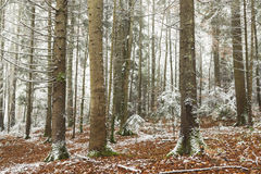 Romantic forest during winter Stock Image