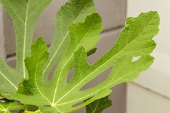 Close view of some fig tree leaves in the garden. Romantic green fig-tree leaves with branch Stock Photos