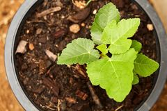 Close view of some fig tree leaves in the garden. Romantic green fig-tree leaves with branch Stock Images