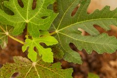 Close view of some fig tree leaves in the garden. Romantic green fig-tree leaves with branch Royalty Free Stock Photography