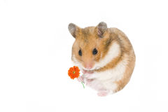 Romantic hamster. Little hamster with the flower over the white Royalty Free Stock Image