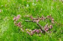 Romantic heart symbol made of pink Cercis siliquastrum flower petals crossed by a tree branch on green grass background. During spring season Royalty Free Stock Images