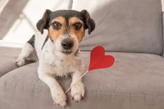 Romantic Jack Russell Terrier dog. Lovable dog is holding a heart to the Valentine`s Day in the mouth royalty free stock photo
