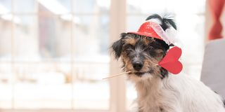 Romantic Jack Russell Terrier dog on valentine. Lovable dog is holding a heart to the Valentine`s Day in the mouth stock image