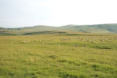 Romantic landscape of floral meadows with flocks of sheep at the Royalty Free Stock Photography