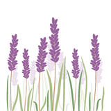 Romantic lavender flovers isolated in white background. Stock Images