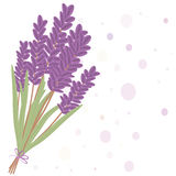 Romantic lavender flovers isolated in white bakground. Royalty Free Stock Photography
