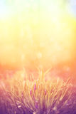 Romantic lavender flowers in sunset light. Stock Photography