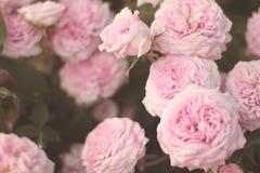 Light pink roses closeup. Romantic light pink english roses closeup on rosebush Royalty Free Stock Photography