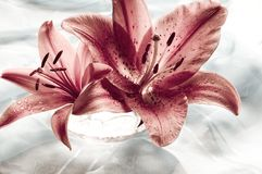 Romantic lily royalty free stock image
