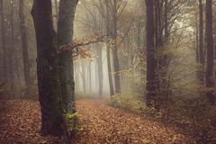 Romantic misty atmosphere in foggy forest Royalty Free Stock Photos
