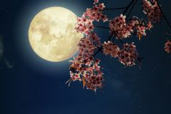 Beautiful cherry blossom sakura flowers in night skies with full moon. Royalty Free Stock Images