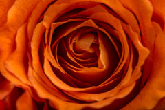 Romantic orange rose. Close up overhead view of the natural whorled pattern of the delicate petals of a perfect romantic orange rose symbolic of love and romance Stock Images