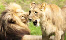 Romantic pair of lions Royalty Free Stock Photography