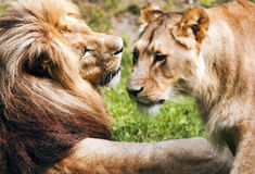 Romantic pair of lions Royalty Free Stock Photo