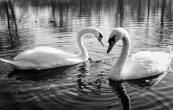Romantic pair of swan on lake in black and white style Stock Photo