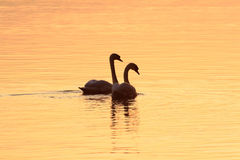 Romantic pair of swans royalty free stock photo