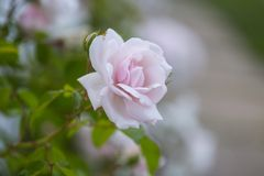 Romantic Pale Pink Rose With Blurred Background. Closeup of Pale pink rose with background blur royalty free stock image