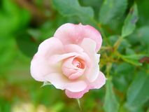 Romantic pale pink rose. Rosaceae in the garden in tiny size. a very beautiful rose form to see stock photography